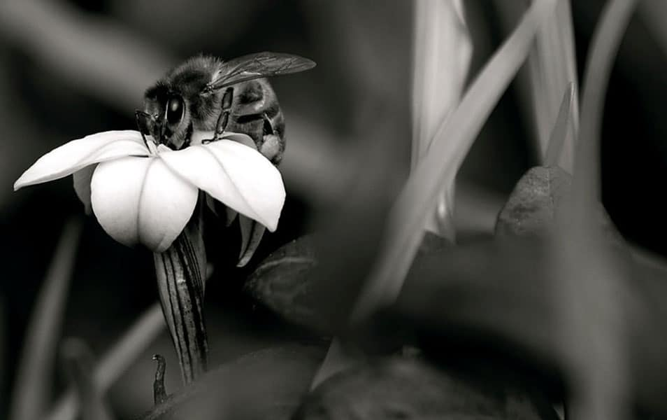 Bee in Black and White